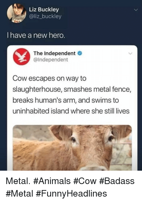 Animals, Badass, and Slaughterhouse: Liz Buckley  @liz_buckley  I have a new hero.  The Independent  @Independent  Cow escapes on way to  slaughterhouse, smashes metal fence,  breaks human's arm, and swims to  uninhabited island where she still lives Metal. #Animals #Cow #Badass #Metal #FunnyHeadlines