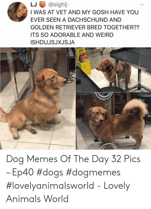 Animals, Dogs, and Memes: LJ@sighlj  I WAS AT VET AND MY GOSH HAVE YOU  EVER SEEN A DACHSCHUND AND  GOLDEN RETRIEVER BRED TOGETHER??  ITS SO ADORABLE AND WEIRD  ISHDUJSJXJSJA Dog Memes Of The Day 32 Pics – Ep40 #dogs #dogmemes #lovelyanimalsworld - Lovely Animals World
