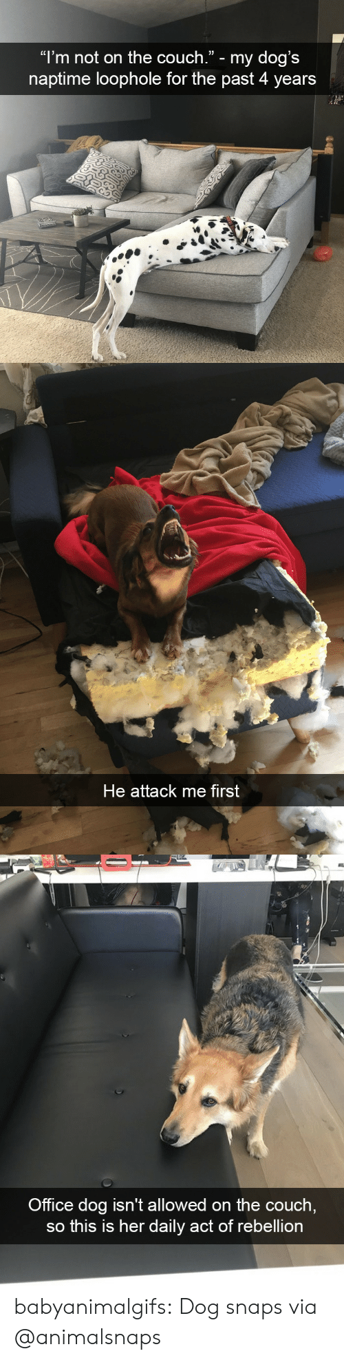 """Dogs, Tumblr, and Blog: """"l'm not on the couch."""" - my dog's  naptime loophole for the past 4 years   He attack me first   Office dog isn't allowed on the couch  so this is her daily act of rebellion babyanimalgifs: Dog snaps via @animalsnaps"""