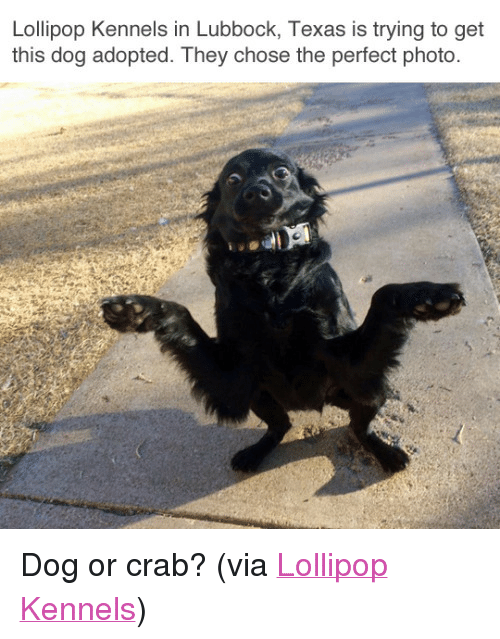 """Dog Adopted: Lollipop Kennels in Lubbock, Texas is trying to get  this dog adopted. They chose the perfect photo. <p>Dog or crab? (via <a href=""""https://www.facebook.com/kpoplolli/photos/pb.126652510723910.-2207520000.1487723835./1231224243600059/?type=3&amp;theater"""" target=""""_blank"""">Lollipop Kennels</a>)<br/></p>"""