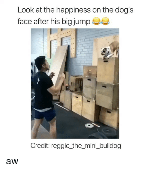Dogs, Reggie, and Bulldog: Look at the happiness on the dog's  face after his big jump  Credit: reggie_the_mini _bulldog aw