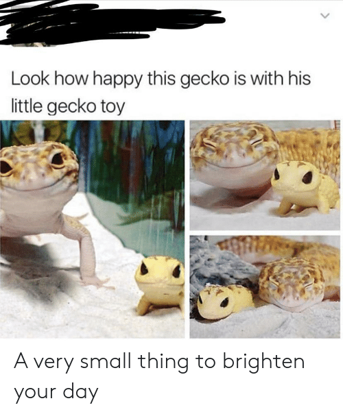 Happy, How, and Gecko: Look how happy this gecko is with his  little gecko toy A very small thing to brighten your day