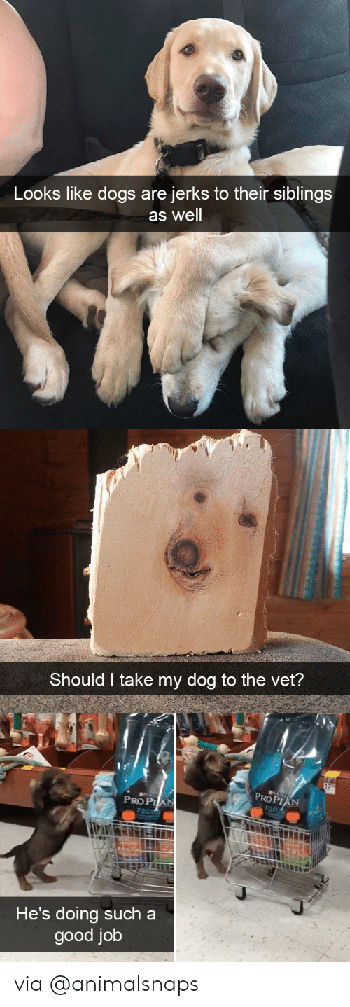 Dogs, Target, and Tumblr: Looks like dogs are  jerks to their siblings  as well   Should I take my dog to the vet?   PROP  PRO PIA  He's doing such a  good job via @animalsnaps