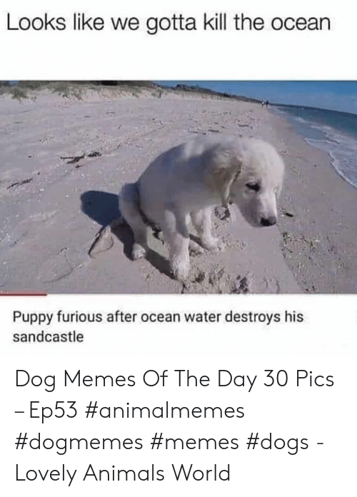 Destroys: Looks like we gotta kill the ocean  Puppy furious after ocean water destroys his  sandcastle Dog Memes Of The Day 30 Pics – Ep53 #animalmemes #dogmemes #memes #dogs - Lovely Animals World