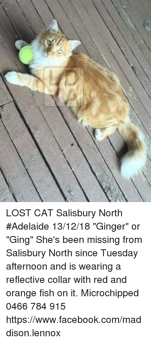 """orange fish: LOST CAT Salisbury North #Adelaide 13/12/18 """"Ginger"""" or """"Ging"""" She's been missing from Salisbury North since Tuesday afternoon and is wearing a reflective collar with red and orange fish on it. Microchipped 0466 784 915 https://www.facebook.com/maddison.lennox"""