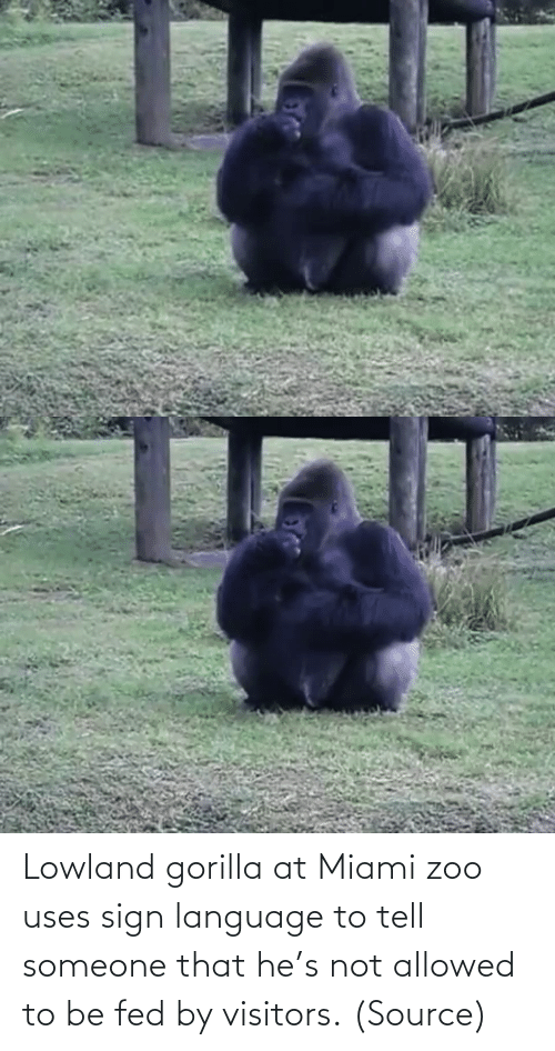 gorilla: Lowland gorilla at Miami zoo uses sign language to tell someone that he's not allowed to be fed by visitors. (Source)