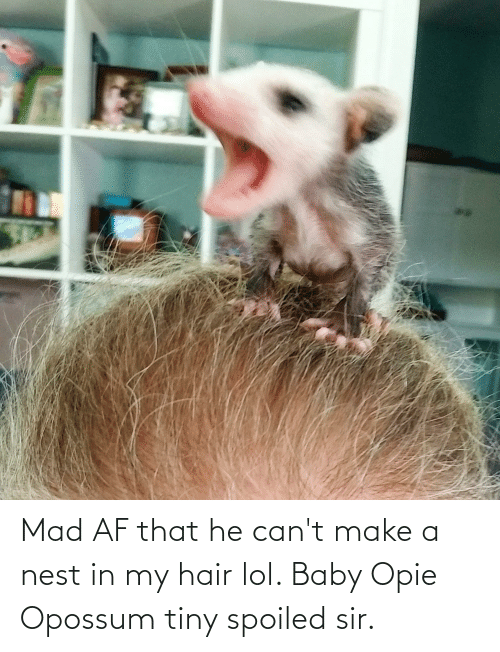 Nest: Mad AF that he can't make a nest in my hair lol. Baby Opie Opossum tiny spoiled sir.