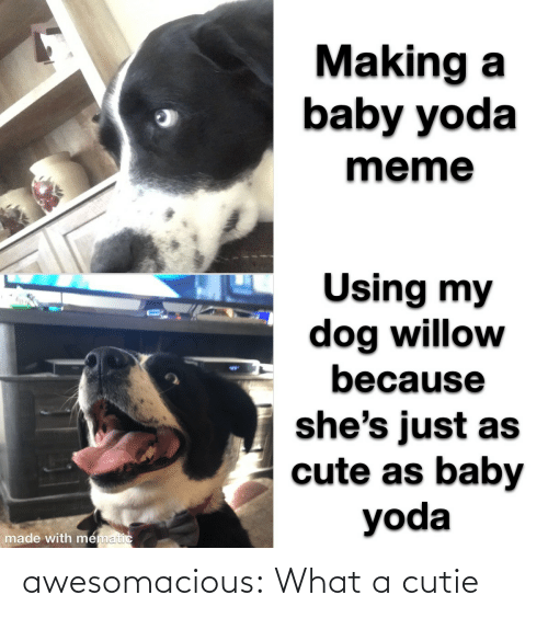Cute, Meme, and Tumblr: Making a  baby yoda  meme  Using my  dog willow  because  %24  she's just as  cute as baby  yoda  made with mematic awesomacious:  What a cutie