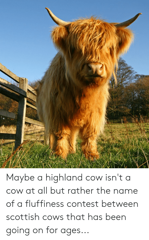 Fluffiness: Maybe a highland cow isn't a cow at all but rather the name of a fluffiness contest between scottish cows that has been going on for ages...