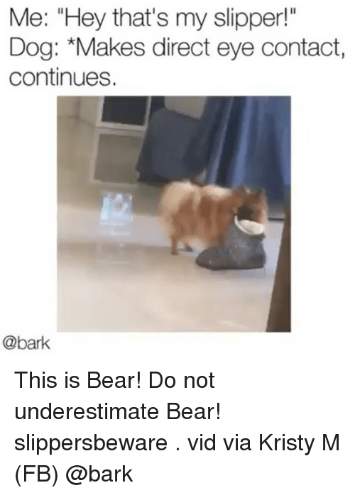 """Memes, Bear, and 🤖: Me: """"Hey that's my slipper!  Dog: *Makes direct eye contact,  continues.  @bark This is Bear! Do not underestimate Bear! slippersbeware . vid via Kristy M (FB) @bark"""