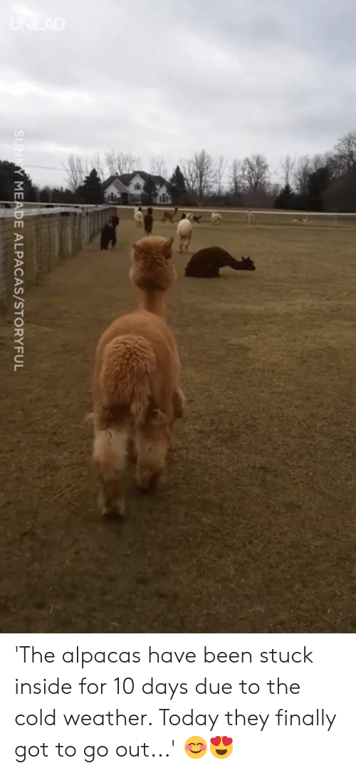 Cold Weather: MEADE ALPACAS/STORYFUL 'The alpacas have been stuck inside for 10 days due to the cold weather. Today they finally got to go out...' 😊😍