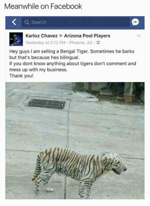 chavez: Meanwhile on Facebook  a Search  Karloz Chavez Arizona Pool Players  Yesterday at 2:12 PM Phoenix, AZ  Hey guys I am selling a Bengal Tiger. Sometimes he barks  but that's because hes bilingual.  If you dont know anything about tigers don't comment and  mess up with my business.  Thank you!