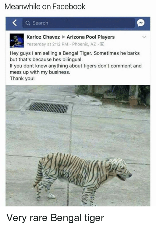 chavez: Meanwhile on Facebook  a Search  Karloz Chavez Arizona Pool Players  Yesterday at 2:12 PM Phoenix, AZ M  Hey guys am selling a Bengal Tiger. Sometimes he barks  but that's because hes bilingual.  If you dont know anything about tigers don't comment and  mess up with my business.  Thank you! Very rare Bengal tiger