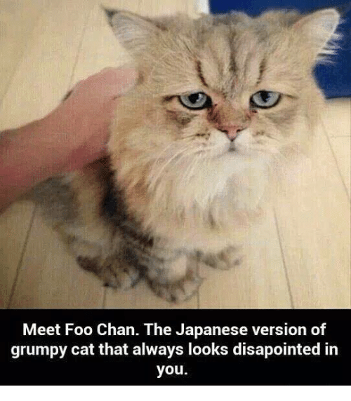 Cats, Memes, and Grumpy Cat: Meet Foo Chan. The Japanese version of  grumpy cat that always looks disapointed in  you.