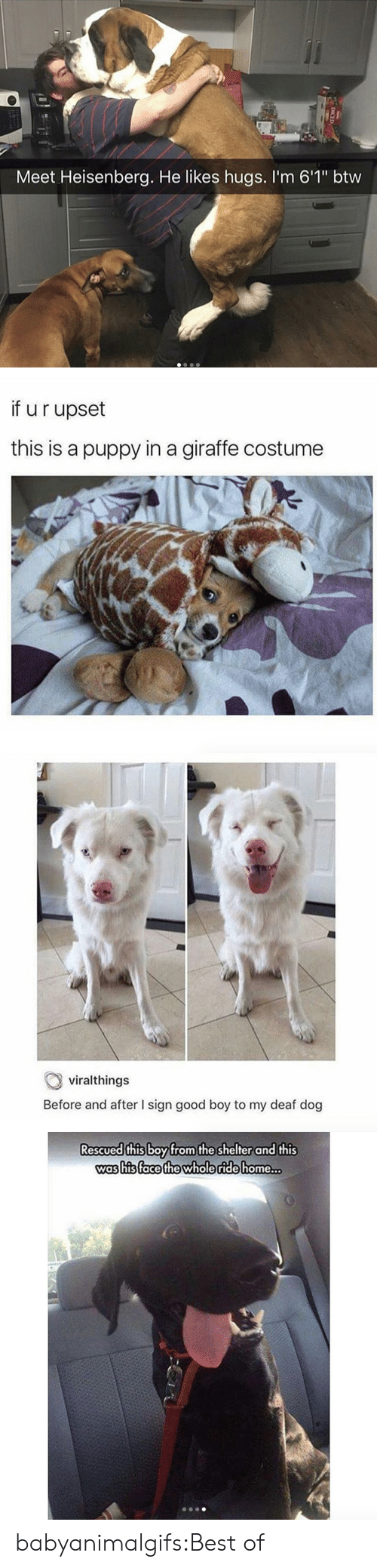 """heisenberg: Meet Heisenberg. He likes hugs. I'm 6'1"""" btw   if u r upset  this is a puppy in a giraffe costume   viralthings  Before and after I sign good boy to my deaf dog   Rescued this boyfrom the shelter and this  was his (face the whole ride home  .. babyanimalgifs:Best of"""