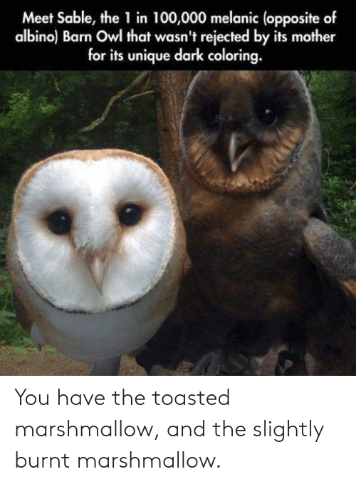 Toasted: Meet Sable, the 1 in 100,000 melanic (opposite of  albino) Barn Owl that wasn't rejected by its mother  for its unique dark coloring. You have the toasted marshmallow, and the slightly burnt marshmallow.