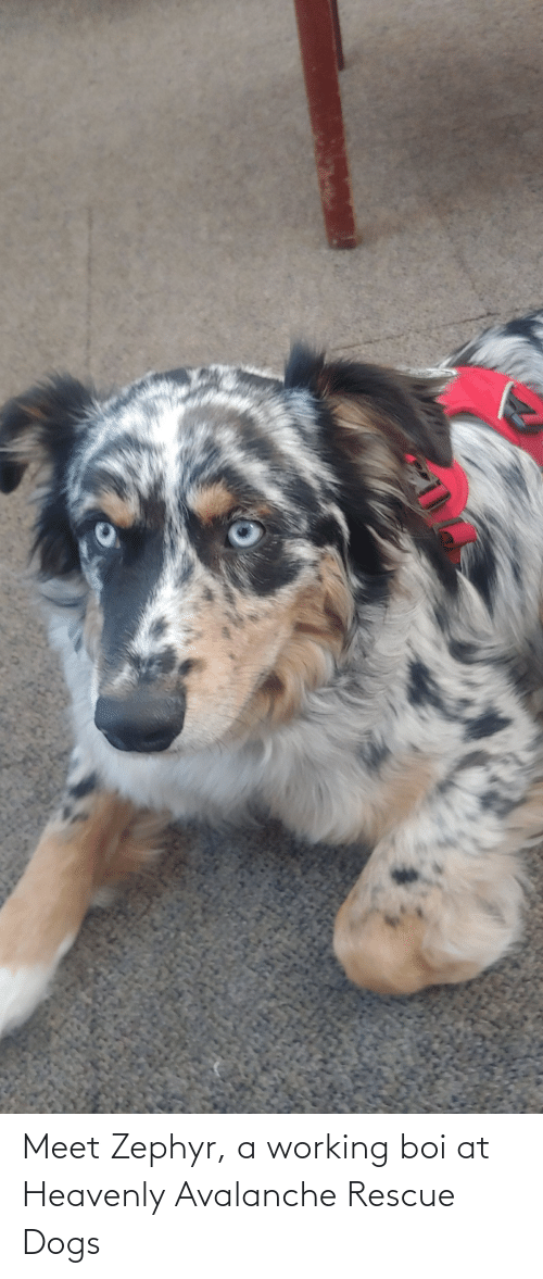 heavenly: Meet Zephyr, a working boi at Heavenly Avalanche Rescue Dogs