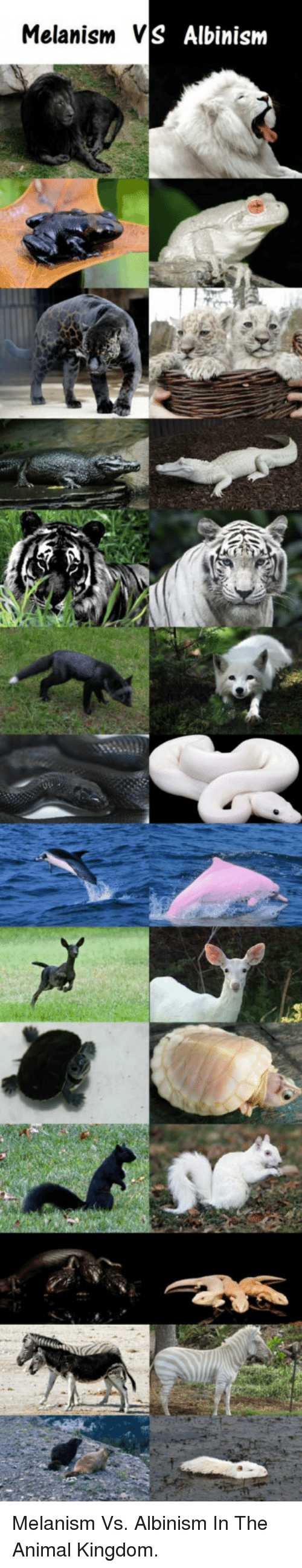 albinism: Melanism V  S Albinism <p>Melanism Vs. Albinism In The Animal Kingdom.</p>