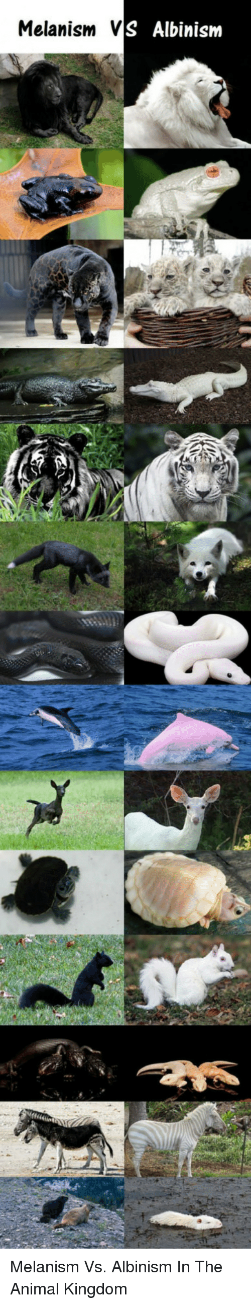 albinism: Melanism V  S Albinism <p>Melanism Vs. Albinism In The Animal Kingdom</p>