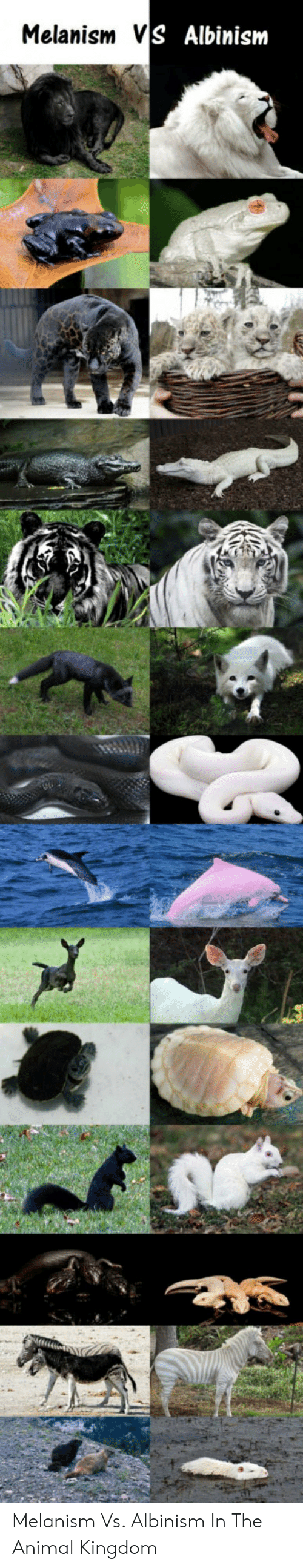albinism: Melanism VS Albinism Melanism Vs. Albinism In The Animal Kingdom