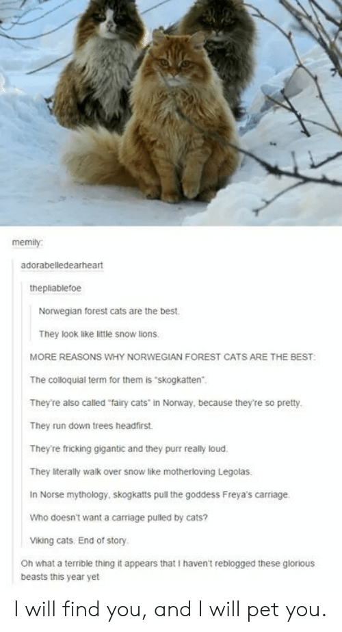"Cats, Run, and Best: memily  adorabelledearheart  thepliablefoe  Norwegian forest cats are the best  They look like little snow lions  MORE REASONS WHY NORWEGIAN FOREST CATS ARE THE BEST  The colloquial term for them is ""skogkatten""  They're also called ""fairy cats"" in Norway, because they're so pretty  They run down trees headfirst.  They're fricking gigantic and they purr really loud.  They literally walk over snow like motherioving Legolas.  In Norse mythology, skogkatts pull the goddess Freya's carriage.  Who doesn't want a carriage pulled by cats?  Viking cats. End of story  Oh what a terrible thing it appears that I haven't reblogged these glorious  beasts this year yet I will find you, and I will pet you."