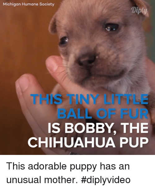 adorable puppy: Michigan Humane Society  Diply  IS BOBBY THE  CHIHUAHUA PUP This adorable puppy has an unusual mother. #diplyvideo