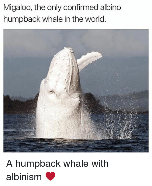 albinism: Migaloo, the only confirmed albino  humpback whale in the world A humpback whale with albinism ❤️