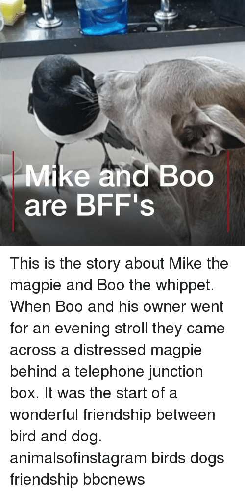 magpie: Mike and Boo  are BFF's This is the story about Mike the magpie and Boo the whippet. When Boo and his owner went for an evening stroll they came across a distressed magpie behind a telephone junction box. It was the start of a wonderful friendship between bird and dog. animalsofinstagram birds dogs friendship bbcnews
