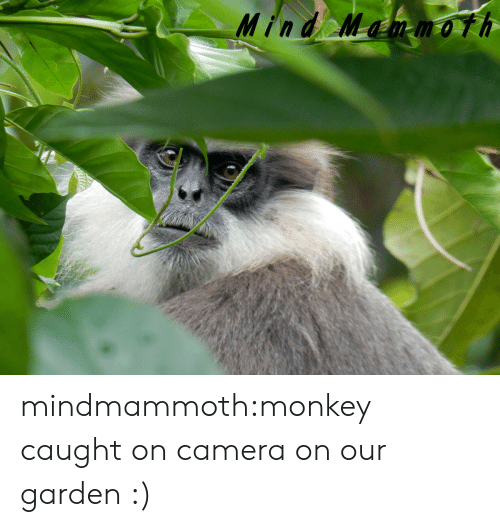 Monkey: Mind Mammoth mindmammoth:monkey caught on camera on our garden :)