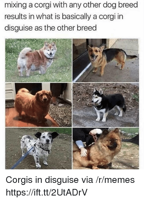 Corgis: mixing a corgi with any other dog breed  results in what is basically a corgi in  disguise as the other breed Corgis in disguise via /r/memes https://ift.tt/2UtADrV
