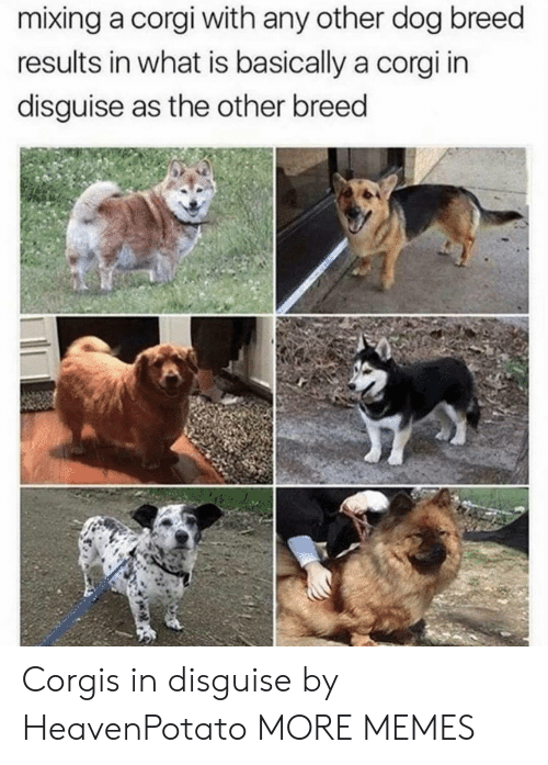Corgis: mixing a corgi with any other dog breed  results in what is basically a corgi in  disguise as the other breed Corgis in disguise by HeavenPotato MORE MEMES