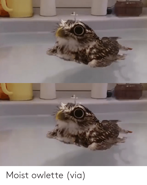 aww: Moist owlette (via)