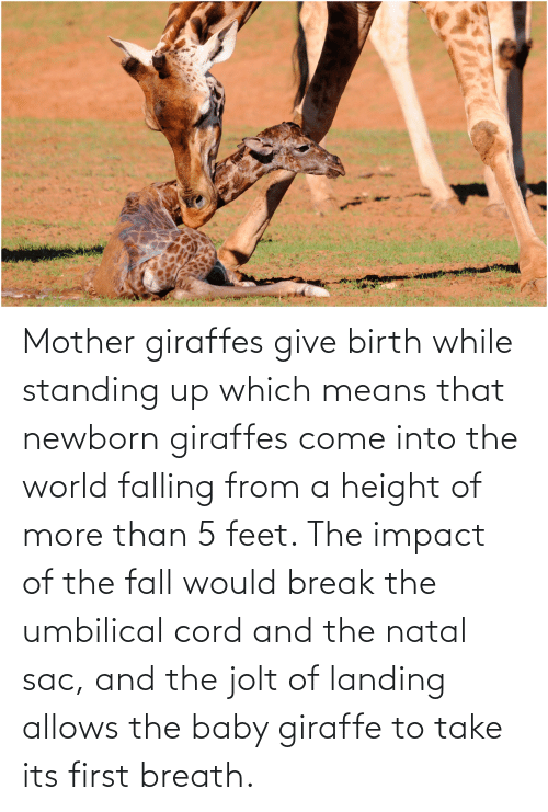 Giraffe: Mother giraffes give birth while standing up which means that newborn giraffes come into the world falling from a height of more than 5 feet. The impact of the fall would break the umbilical cord and the natal sac, and the jolt of landing allows the baby giraffe to take its first breath.