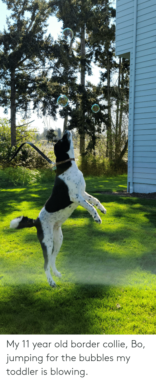 toddler: My 11 year old border collie, Bo, jumping for the bubbles my toddler is blowing.