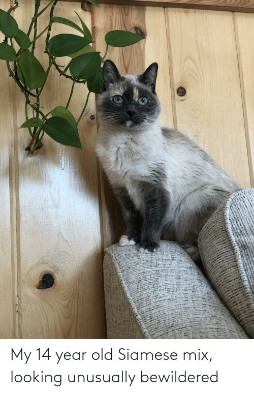14 Year Old: My 14 year old Siamese mix, looking unusually bewildered