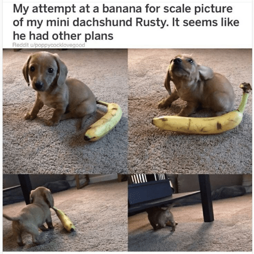 Reddit, Banana, and Mini: My attempt at a banana for scale picture  of my mini dachshund Rusty. It seems like  he had other plans  Reddit u/poppycocklovegood