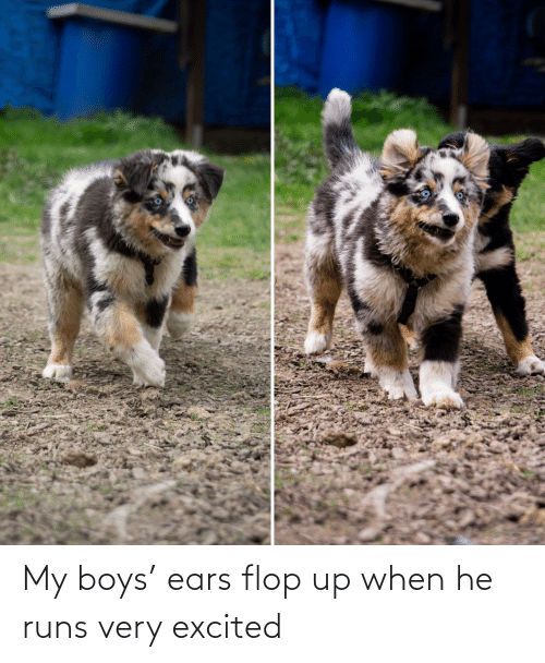 ears: My boys' ears flop up when he runs very excited