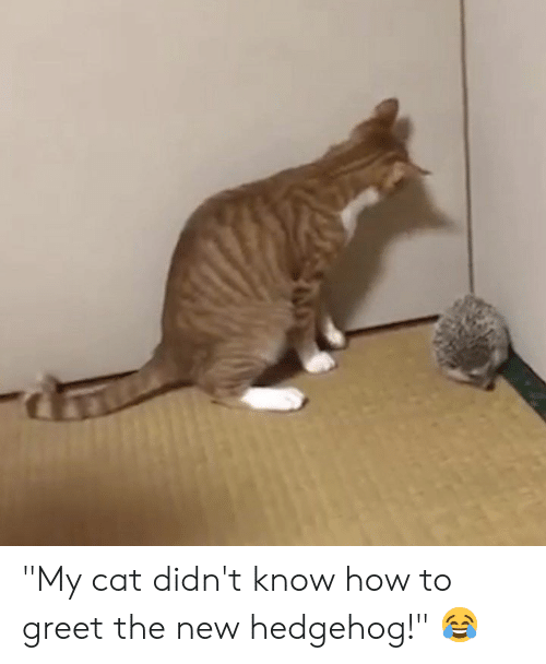 """Hedgehog, How To, and How: """"My cat didn't know how to greet the new hedgehog!"""" 😂"""