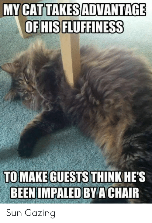 Fluffiness: MY CATTAKESADVANTAGE  OFHIS FLUFFINESS  TO MAKE GUESTS THINKHE'S  BEENIMPALED BYACHAIR Sun Gazing