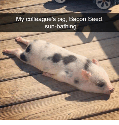 Bacon, Sun, and Pig: My colleague's pig, Bacon Seed,  sun-bathing