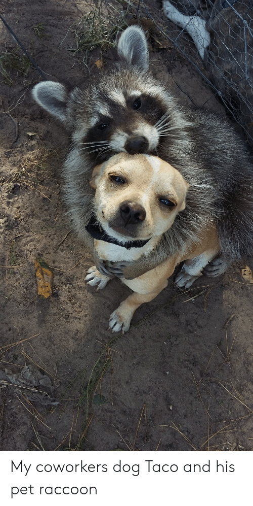 Raccoon, Coworkers, and Dog: My coworkers dog Taco and his pet raccoon