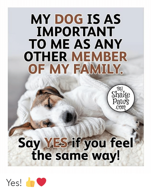 Family, Memes, and 🤖: MY DOG IS AS  IMPORTANT  TO ME AS ANY  OTHER MEMBER  OF MY FAMILY  By  Shake  Paws  .Com  Say YES if you feel  the same way! Yes! 👍❤️