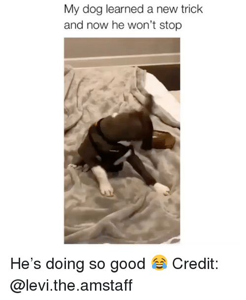 Memes, Good, and 🤖: My dog learned a new trick  and now he won't stop He's doing so good 😂 Credit: @levi.the.amstaff