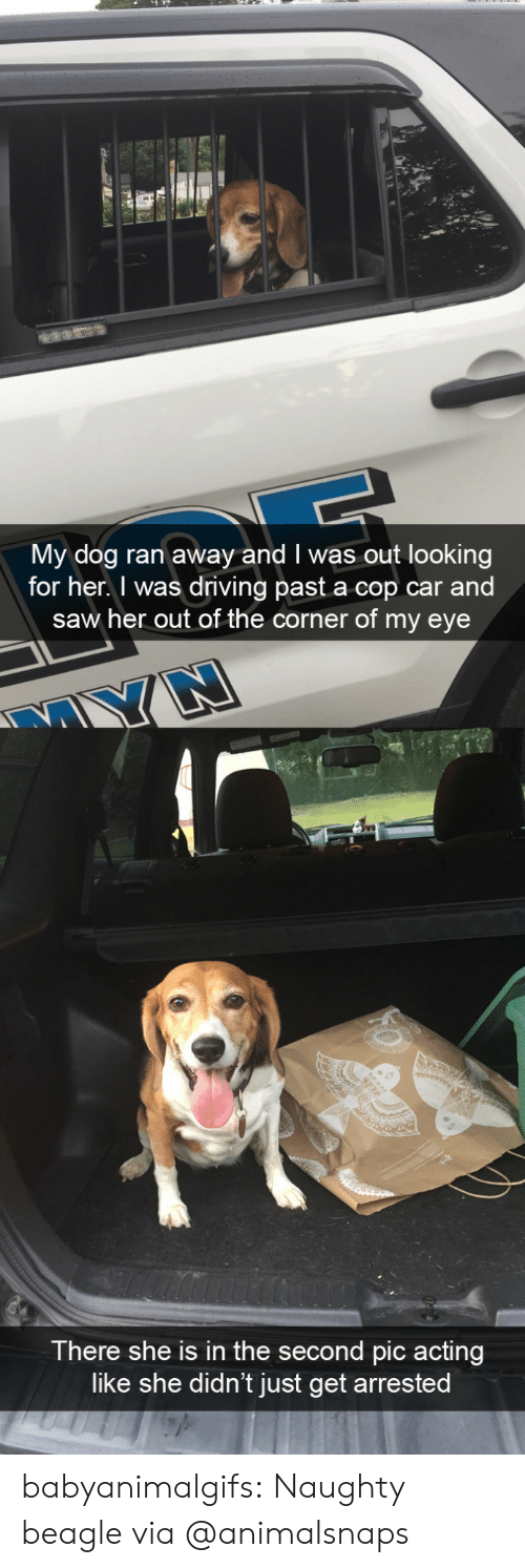 cop: My dog ran away and I was out looking  for her. I was driving past a cop car and  saw her out of the corner of my eye  There she is in the second pic acting  like she didn't just get arrested babyanimalgifs:  Naughty beagle via @animalsnaps
