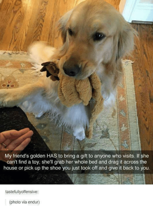 Offensives: My friend's golden HAS to bring a gift to anyone who visits. If she  can't find a toy, she'll grab her whole bed and drag it across the  house or pick up the shoe you just took off and give it back to you.  tastefully offensive:  (photo via endur)
