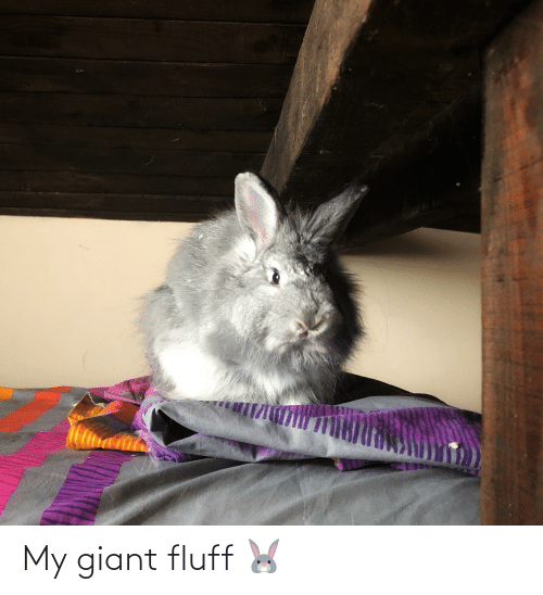 Giant: My giant fluff 🐰