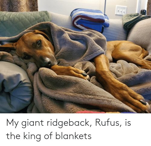 Giant: My giant ridgeback, Rufus, is the king of blankets