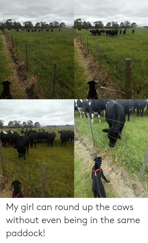 round up: My girl can round up the cows without even being in the same paddock!