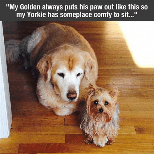 "Yorkie: ""My Golden always puts his paw out like this so  my Yorkie has someplace comfy to sit..."""
