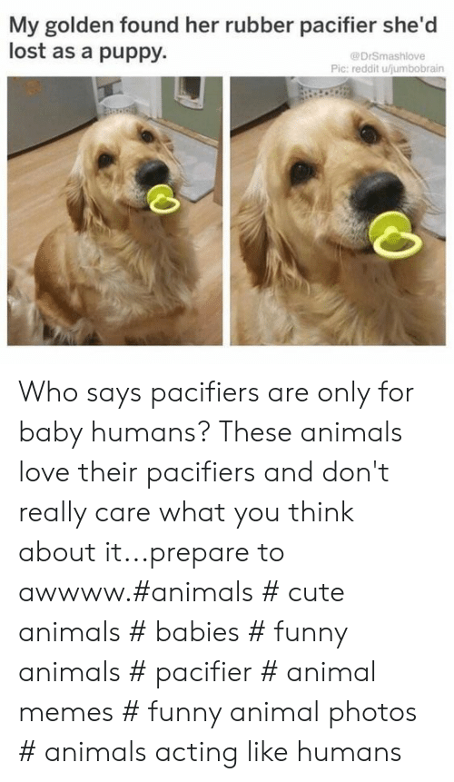 Awwww: My golden found her rubber pacifier she'd  lost as a puppy.  @DrSmashlove  Pic: reddit ujumbobrain Who says pacifiers are only for baby humans? These animals love their pacifiers and don't really care what you think about it...prepare to awwww.#animals # cute animals # babies # funny animals # pacifier # animal memes # funny animal photos # animals acting like humans